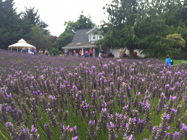 Lavender field Sequim Movement Ecology Pregnancy